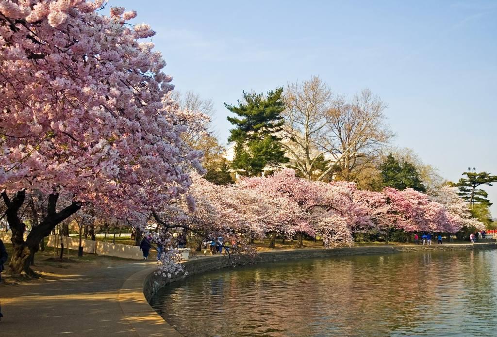 ポトマック沿いの桜