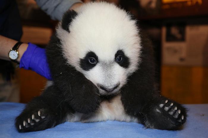 赤ちゃんパンダ 2