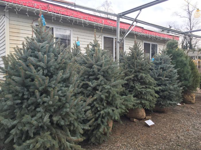 ブルースプリーのクリスマスツリー