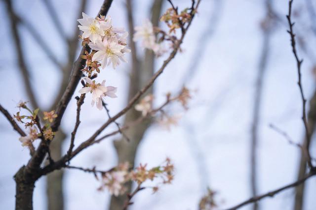 12月なのに咲き始めた桜 2