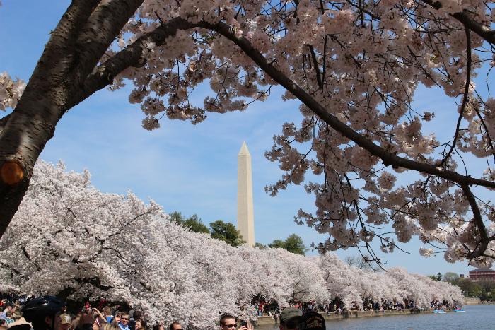 ワシントン記念碑と桜