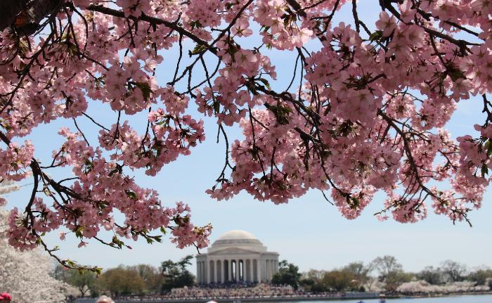 ピンクの桜とジェファーソン