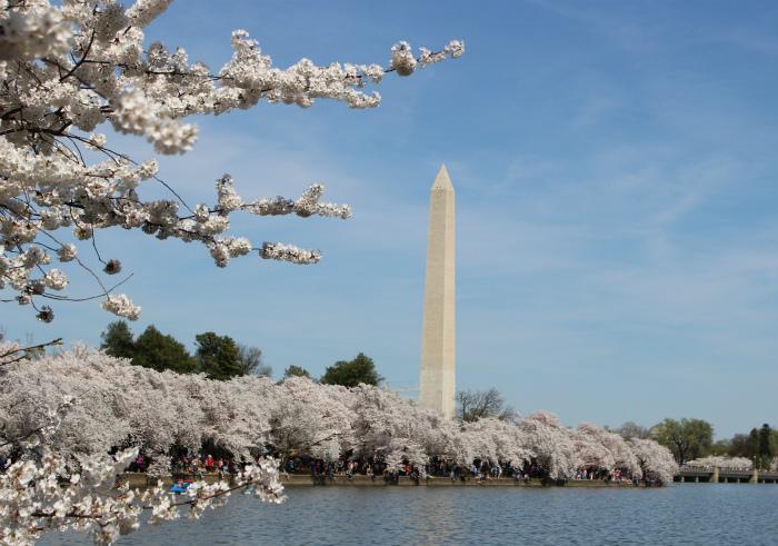 ワシントン記念碑と桜並木